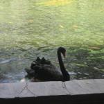 Black Swan posed